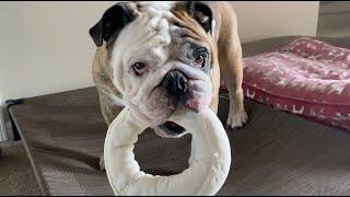 reuben-the-bulldog-again