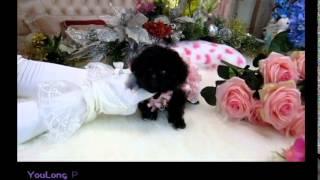 Black Pocket Teacup Poodle Alicia