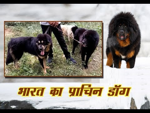 Indian Ancient Himalayan Mastiff Dog, Origin of Tibetan Mastiff Dog.  Bhutia and Gaddi Dog Of India