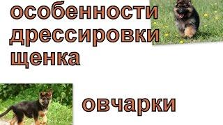 Особенности дрессировки щенков немецкой овчарки