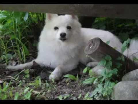 American eskimo, German spitz  ..... FALCO the best dog in the world ...Slovakia