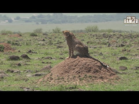 Stunning Mara Cheetah Sisters With A Snack Introduced By