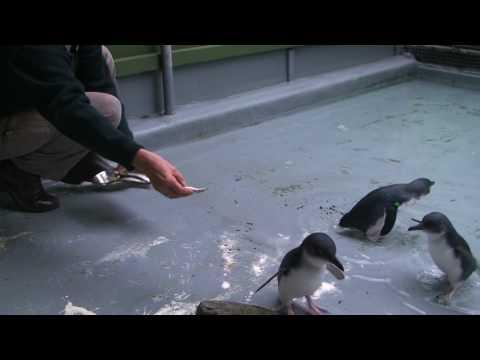 Little Penguins Return to the Open Ocean