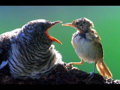 Kuckuck stemmt Eier aus dem Nest. Vogelwelt DOKU GERMAN HD