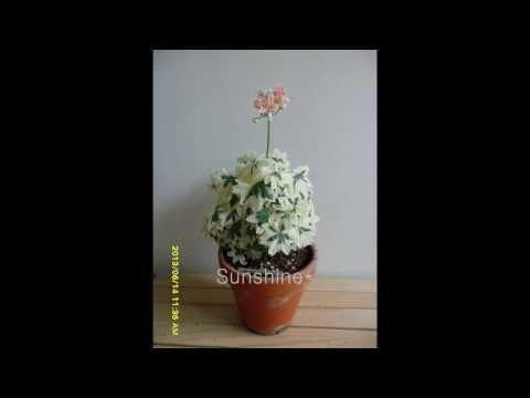 Miniature stellar Pelargonium Baby Silver 1  베이비실버 팬시 스텔라