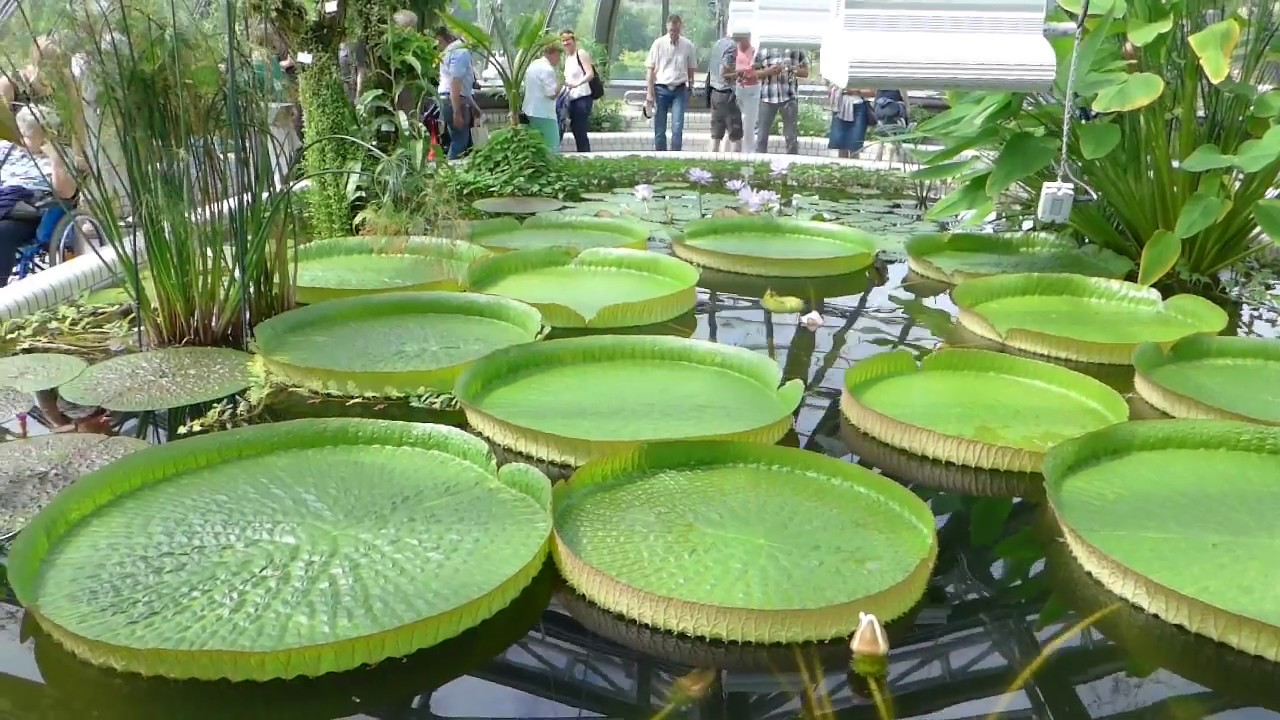 Victoria Seerosen Im Botanischen Garten Berlin Dahlem Youtube