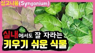 싱고니움 식물 키우기 arrowhead plant