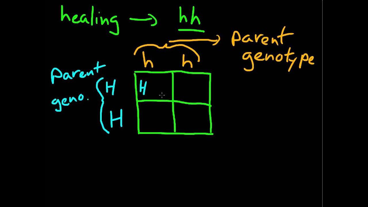 how to create punnett squares