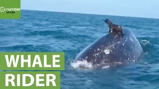 Seal catches a ride on the back of a whale!