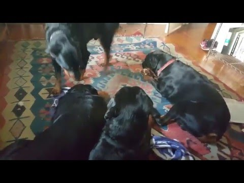 Hanging out with my 4 big Rottweilers that I rescued! Pack of dogs
