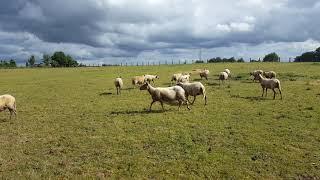 Moutons bio Ferme biologique de Normandie