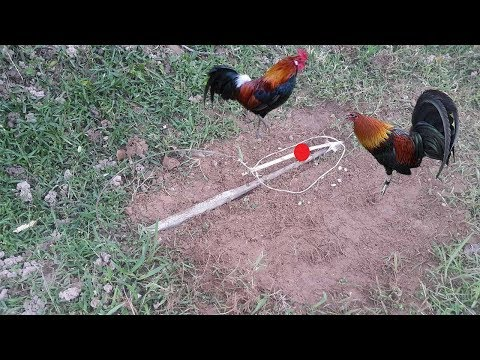 The Best Wild Chickens Trap - how To Install Bird Trap Easy - Traditional Bird Trap In Cambodia