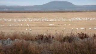 Tulelake and Lower Klamath Refuges, Wildlife In Danger.wmv