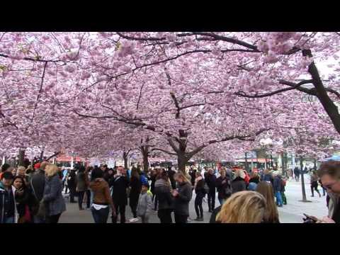 Stockholm - City Tours - Kungsträdgården Cherry Blossom / Sakura 2016 04 23