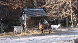 Mlade koze in kozlički na kmetiji Rožič.