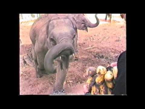 1989 Thailand, Lampang, Thai Young Elephant Training Center, TECC, National Elephant Institute