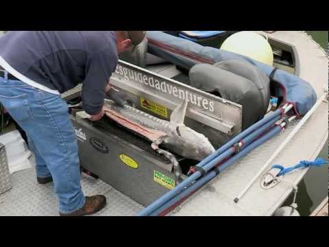 Columbia River Keeper Sturgeon & Shad Rack Shad