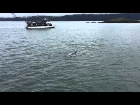 Transient killer whales attacking a Steller sea lion in Juneau, Alaska