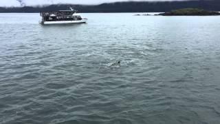 Transient killer whales attacking a Steller sea lion in Juneau, Alaska