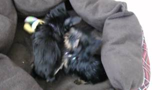 Priceless Yorkie Puppy Cutest Tinest Teacup Yorkshire Terrier Puppies Wresling