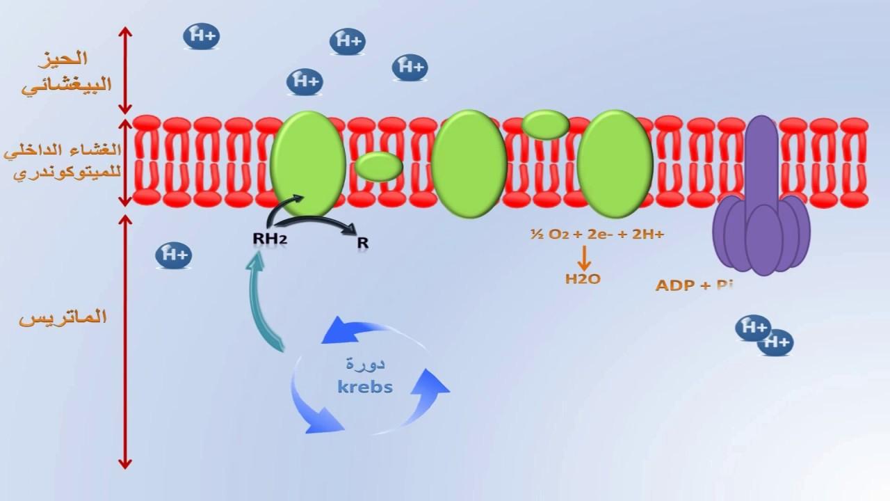 U202b U062a U0641 U0627 U0639 U0644 U0627 U062a  U0627 U0644 U062a U0641 U0633 U0641 U0631  U0627 U0644 U0645 U0624 U0643 U0633 U062f La Phosphorylation Oxydative