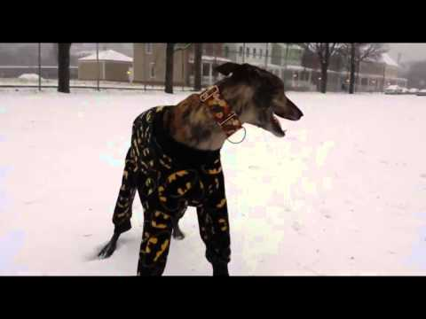 Greyhound in Pajamas Playing in Snow