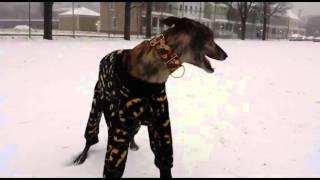 Greyhound in Pajamas Playing in Snow