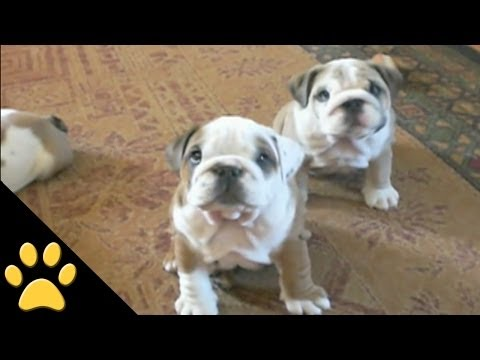 Bulldogs Are Awesome: Compilation