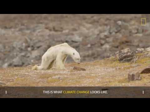 Heart Wrenching Video Shows Starving Polar Bear on Iceless Land