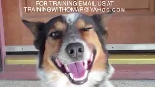 Попал в книгу рекордов Гинеса, как самый умный пес, невероятно как он это делает!