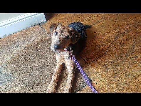 Lincoln - Lakeland Terrier - 5 Weeks Residential Dog Training