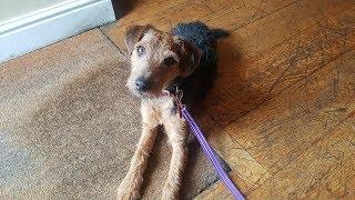 Lincoln  Lakeland Terrier  5 Weeks Residential Dog Training