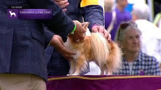 Chihuahuas Long Coat | Breed Judging 2021