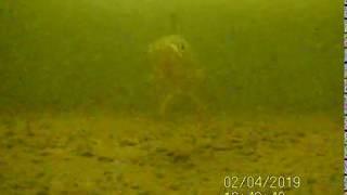 Окунь подводная рыбалка и съёмки на камеру Calipso
