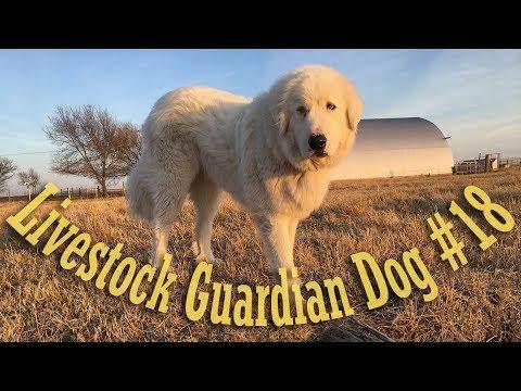 Livestock Guardian Dog - Pasture Access