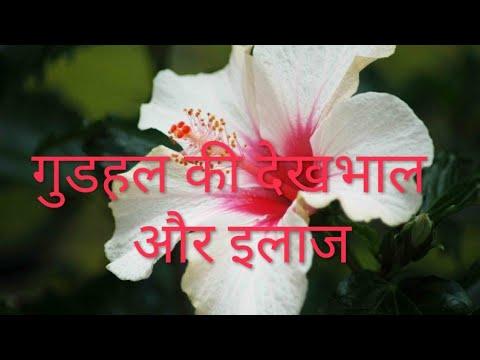 Hibiscus 🌺 flowers plant🌱 Care & Treatment // Best summer flowering plants