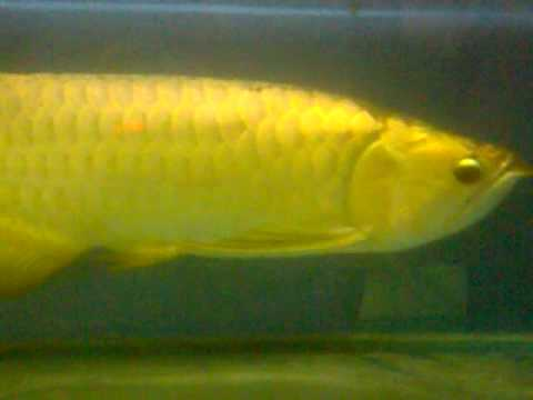 Arowana Panda Gold 24k for sale from Bukit Merah