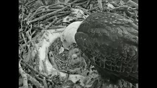 Big Bear Eagle Cam ~ A View Of The Babies Today 2.13.18