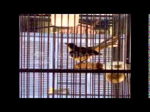 Burung Sikatan Cacing Gacor
