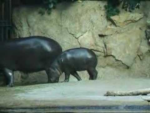 Happy Hippo Dance!