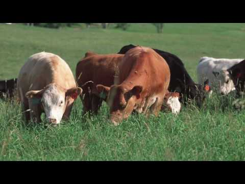 The Cattle Industry: Farm to Fork