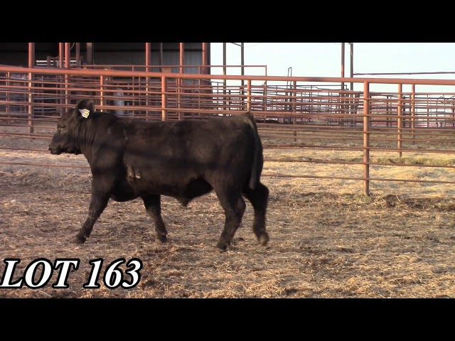 Mead Angus Farms Lot 163