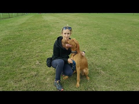 Boo - Hungarian Wirehaired Vizsla - 3 Weeks Residential Dog Training