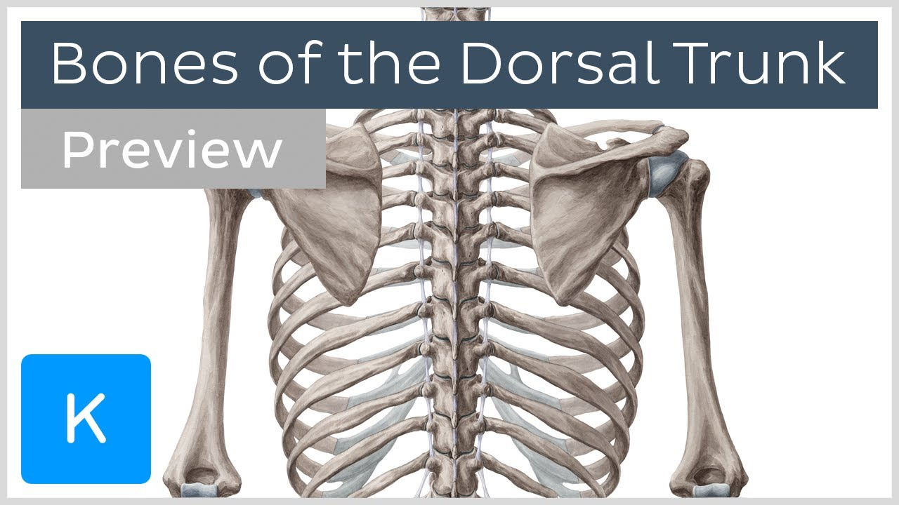Bones of the Dorsal Trunk (preview) - Human Anatomy ...