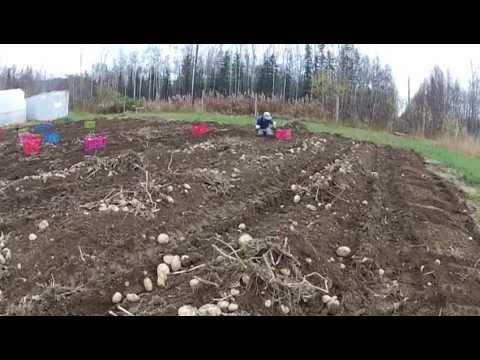 Alaskan Potatoes, Wasilla Alaska
