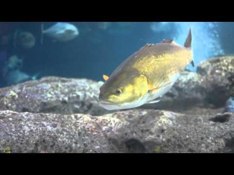 Monster Bull Redfish Aquarium Screen Saver