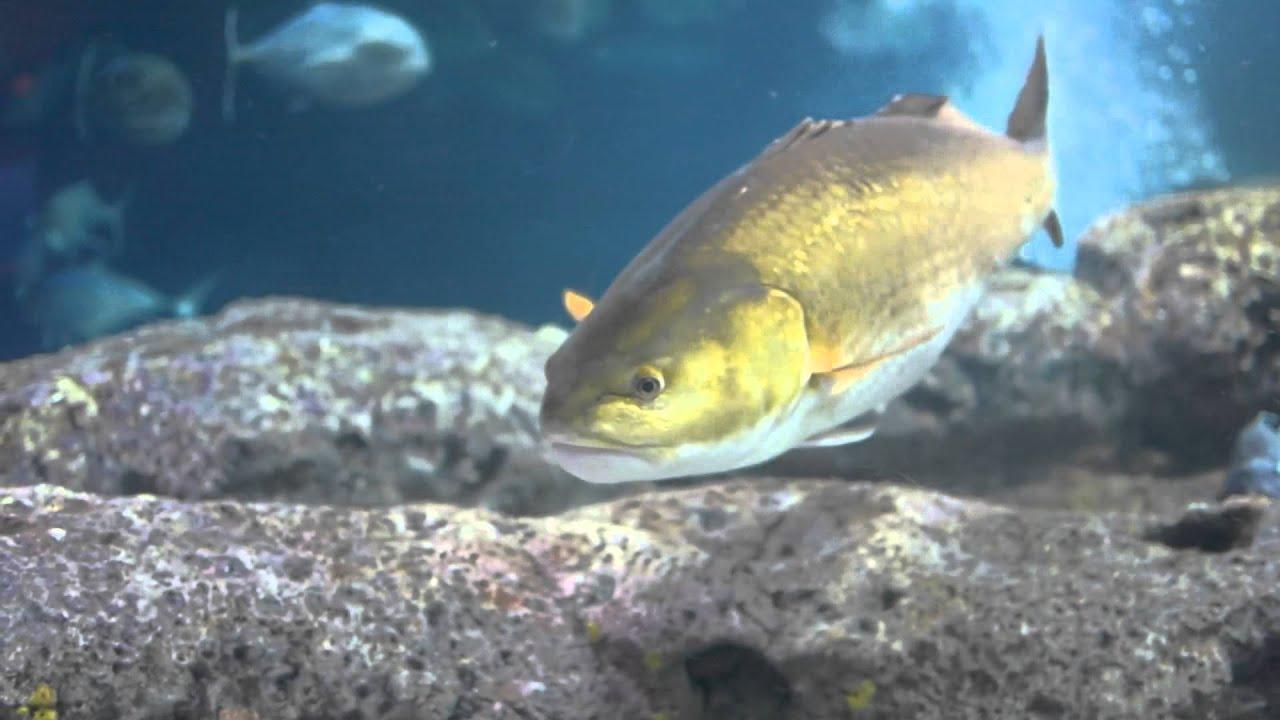 Redfish Wallpaper 84447