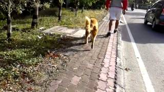 Jogging With My Dog (jeff) Love Golden Retriever