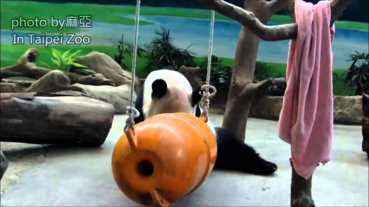 20140917憨直團團打橘桶趣事一籮筐The Giant Panda Tuan Tuan - YouTube