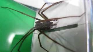 Spinnenfang